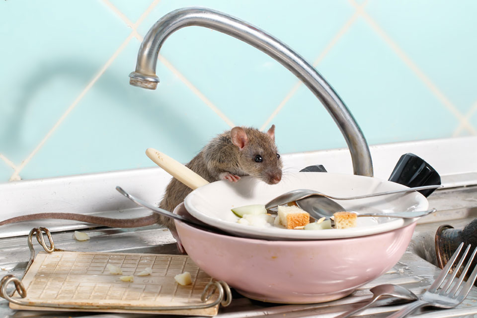 mouse in kitchen sink looking for food