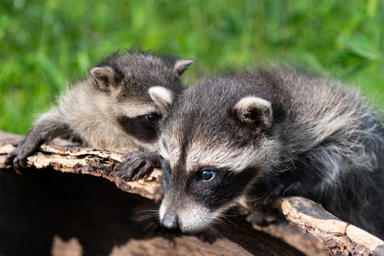 two racoons on log